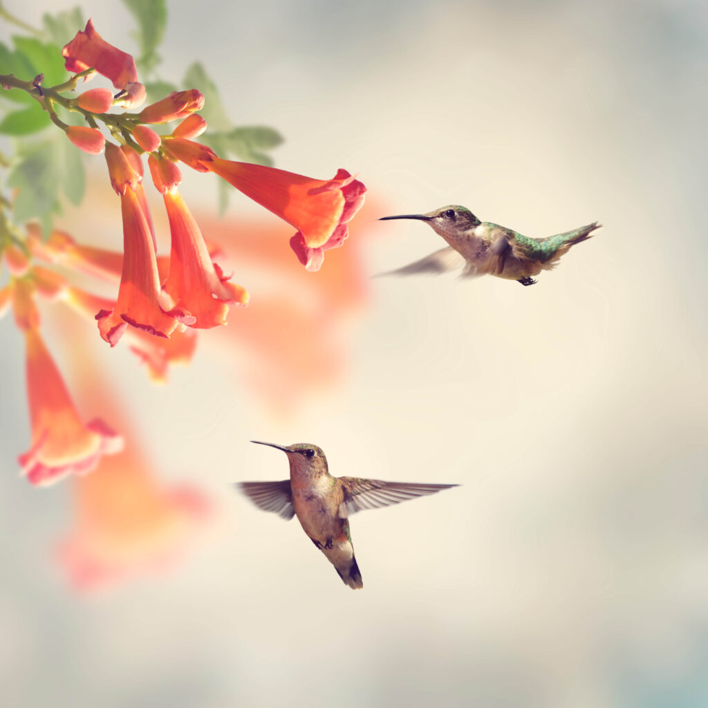 A picture of two hummingbirds at a trumpet vine plant.