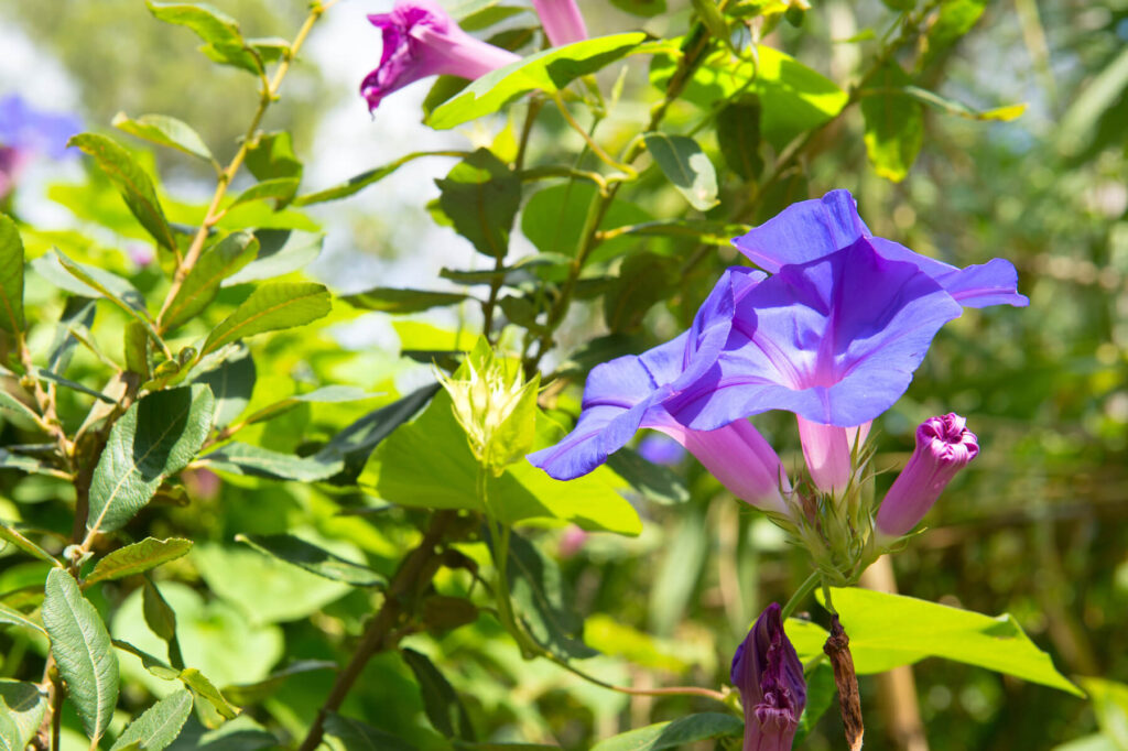 A picture of purple morning glories in the garden.