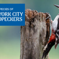The Woodpeckers of Central Park, New York City (Pictures)