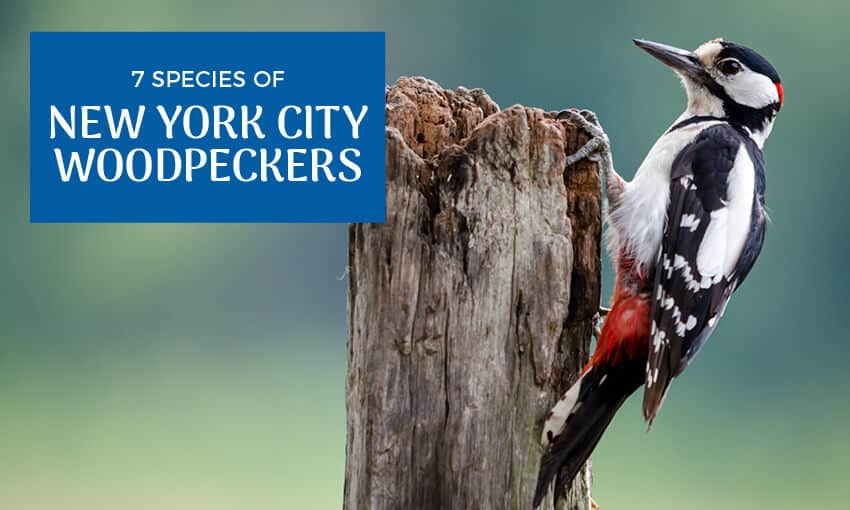 "A picture of a woodpecker on the side of a tree stump. Text reads ""7 species of New York City woodpeckers."