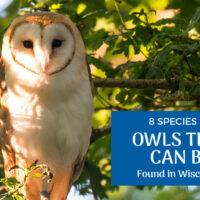 8 Species of Owls in Wisconsin (Pictures)
