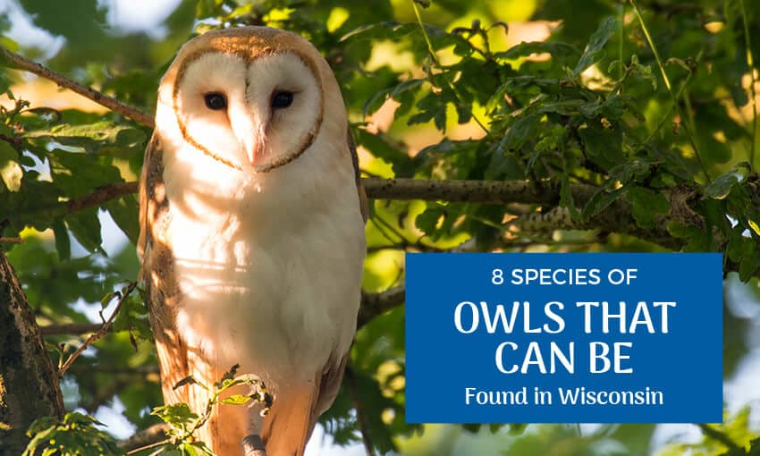 An owl nestled in some tree branches. Text reads 8 species of owls that be found in Wisconsin.