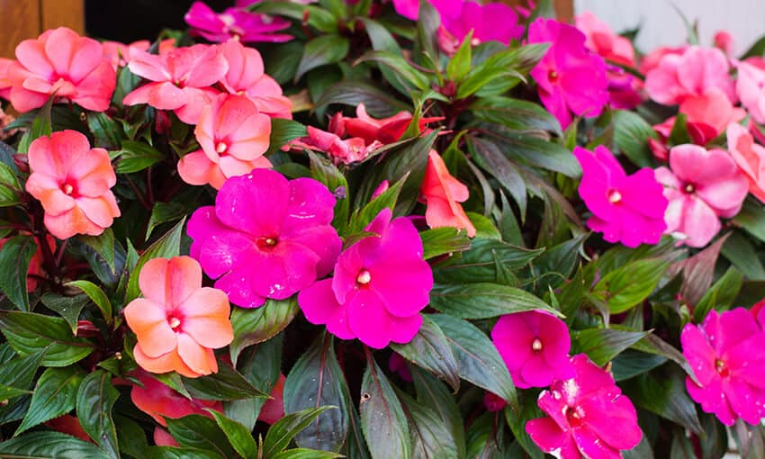 An image of pink impatiens.