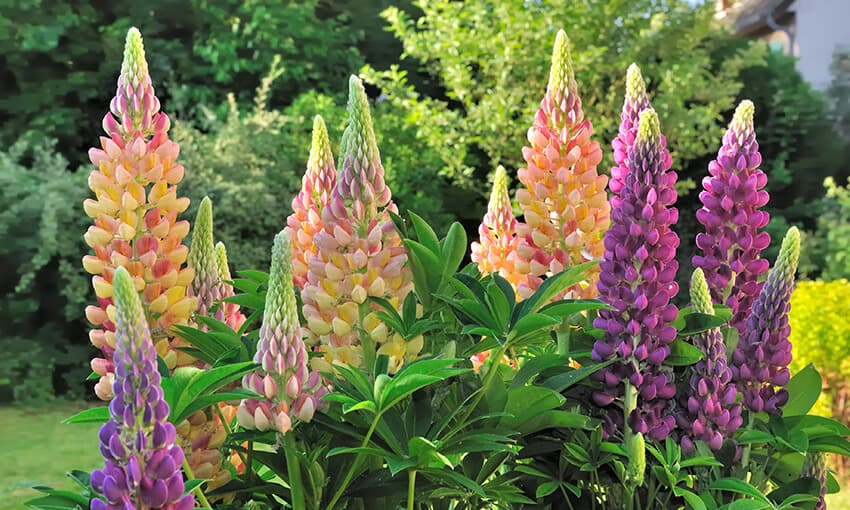 An image of potted lupines.