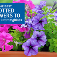 The Best Potted Flowers to Attract Hummingbirds