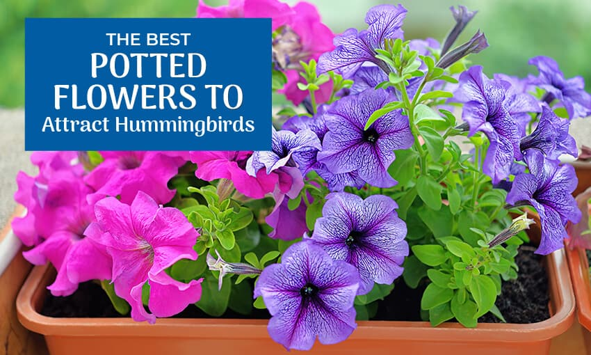A picture of potted Petunias with text that reads the best potted flowers to attract hummingbirds.