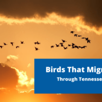 Temporarily in Tennessee: Birds that migrate through Tennessee