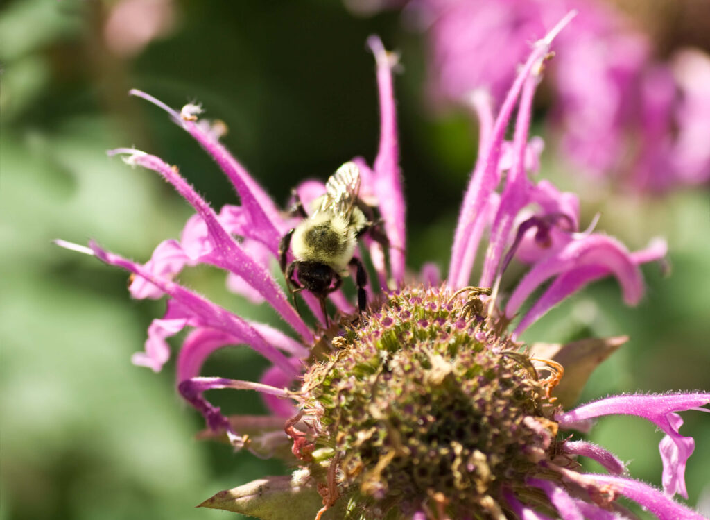 A picture of a  bee on a bee balm flower.