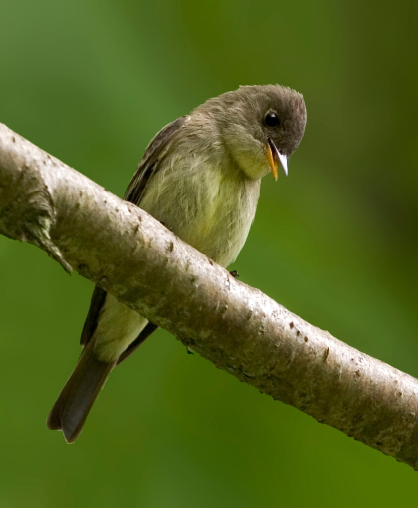 A picture of an Eastern-Wood Peewee perched on a large branch.