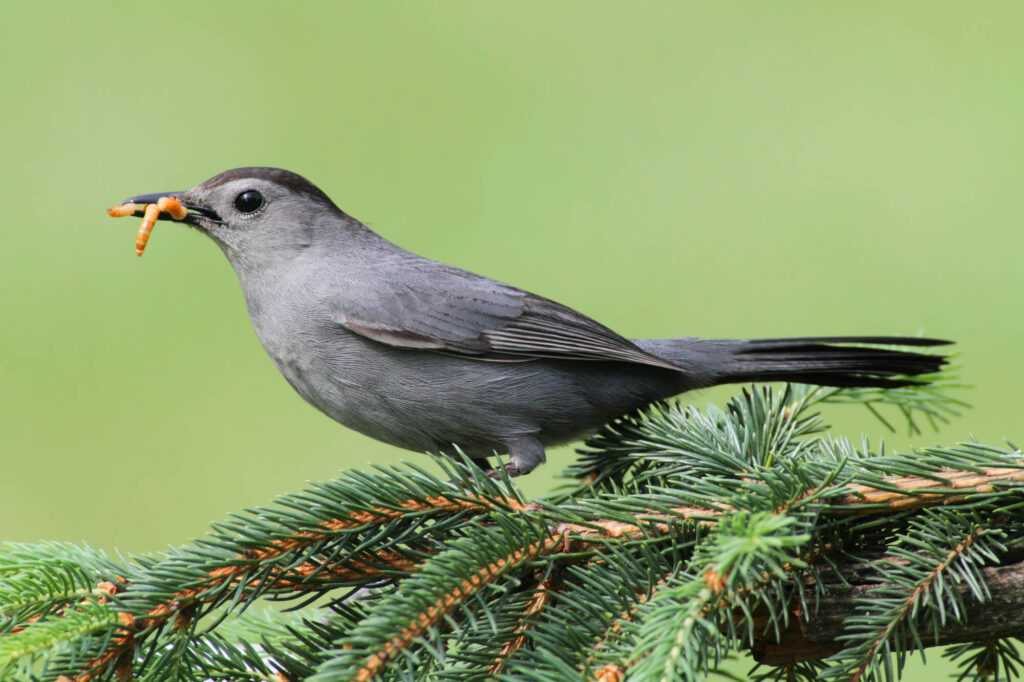 A picture of a Gray Catbird with grungiest in his mouth standing on a pine tree branch.