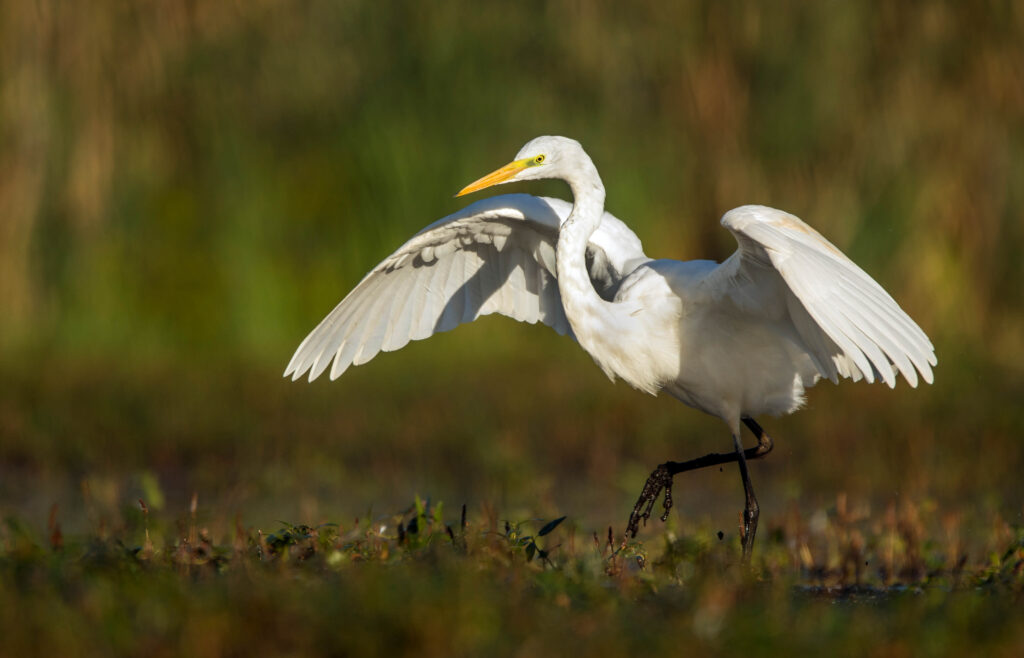 A picture of a Great Egret walking on grassy ground with wings spread wide.
