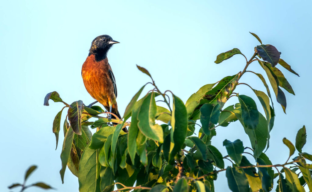 A picture of an orchard oriole perched on the top of a large shrub, overlooking the landscape.