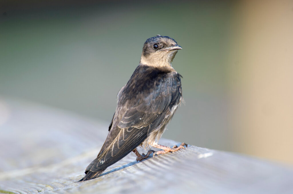 A picture of a Purple Martin standing on a wooden plank, head turned towards the camera.