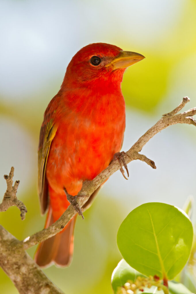 A picture of a Summer Tanager perched on a branch.