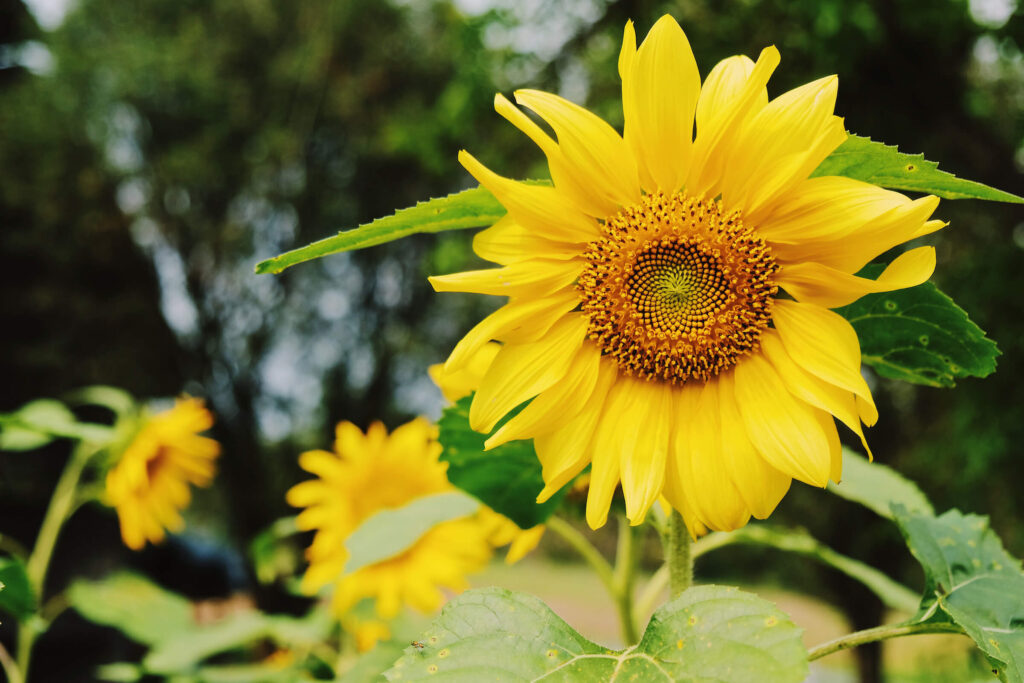 A picture of a sunflower in a garden, to help attract more birds to the backyard.
