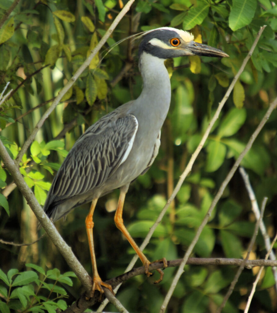 A picture of a yellow-crowned night heron perched on branches in some shrubs.