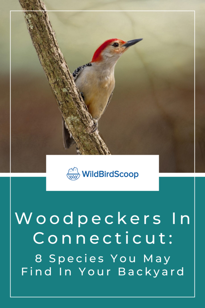 Woodpeckers In Connecticut