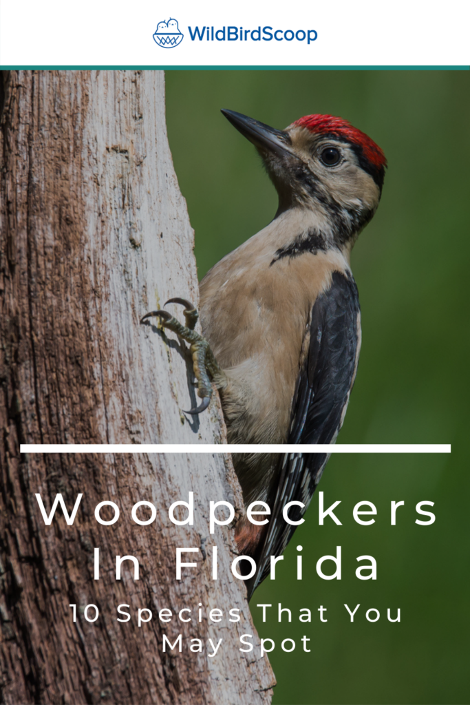 Woodpeckers In Florida