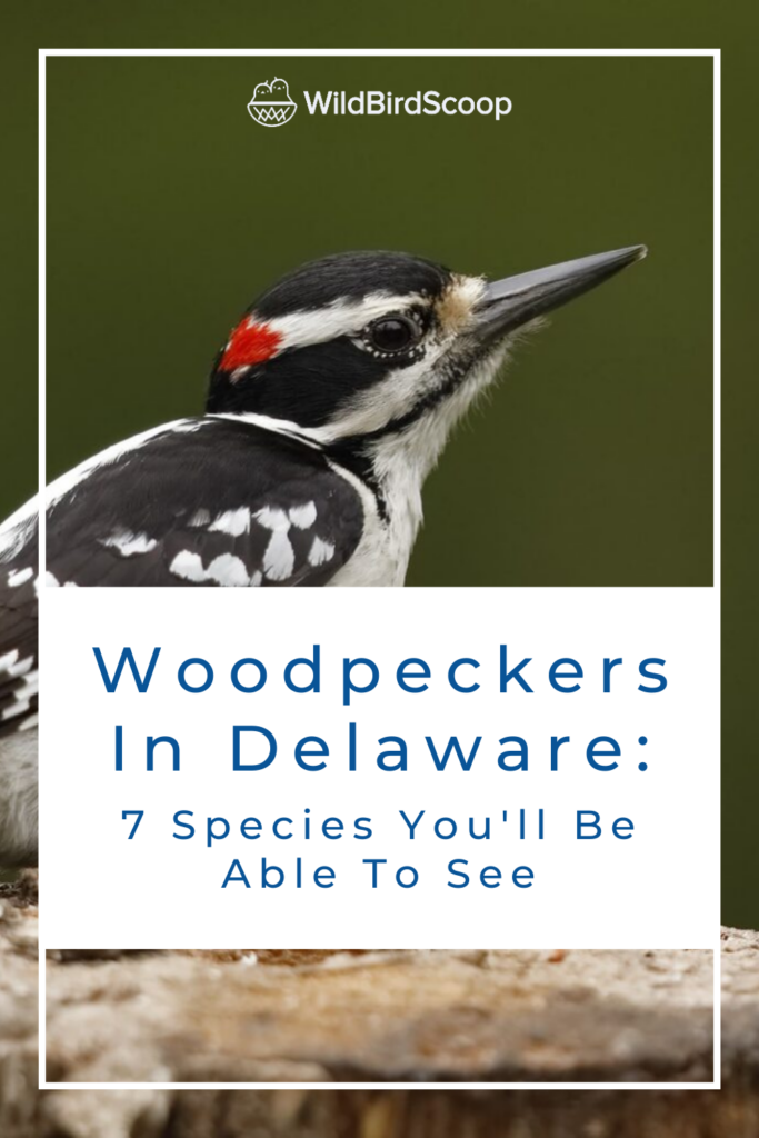 Woodpeckers In Delaware