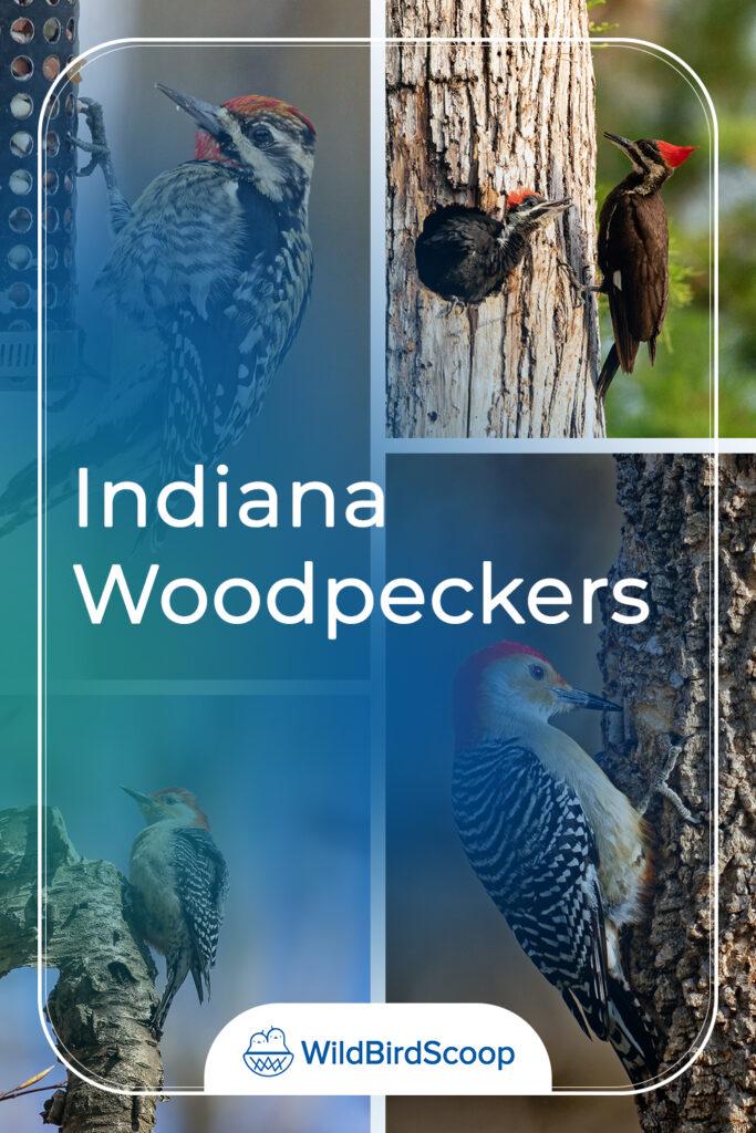 Indiana Woodpeckers