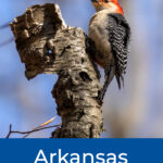 Woodpeckers In Arkansas