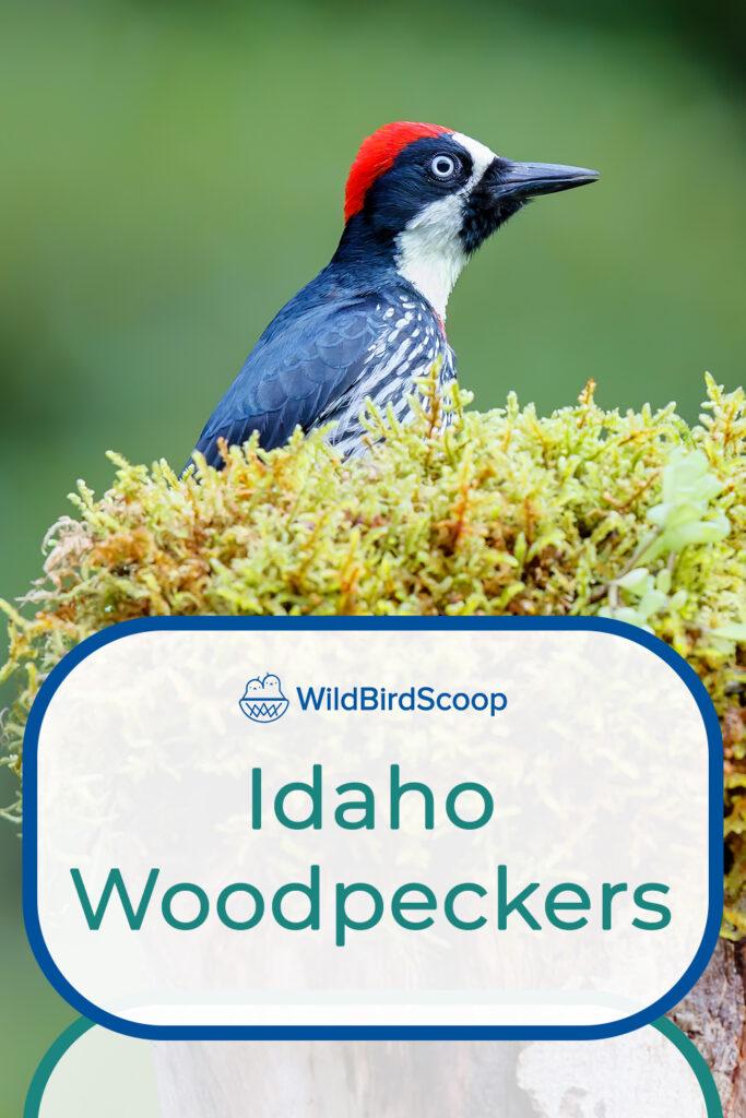 Woodpeckers In Idaho