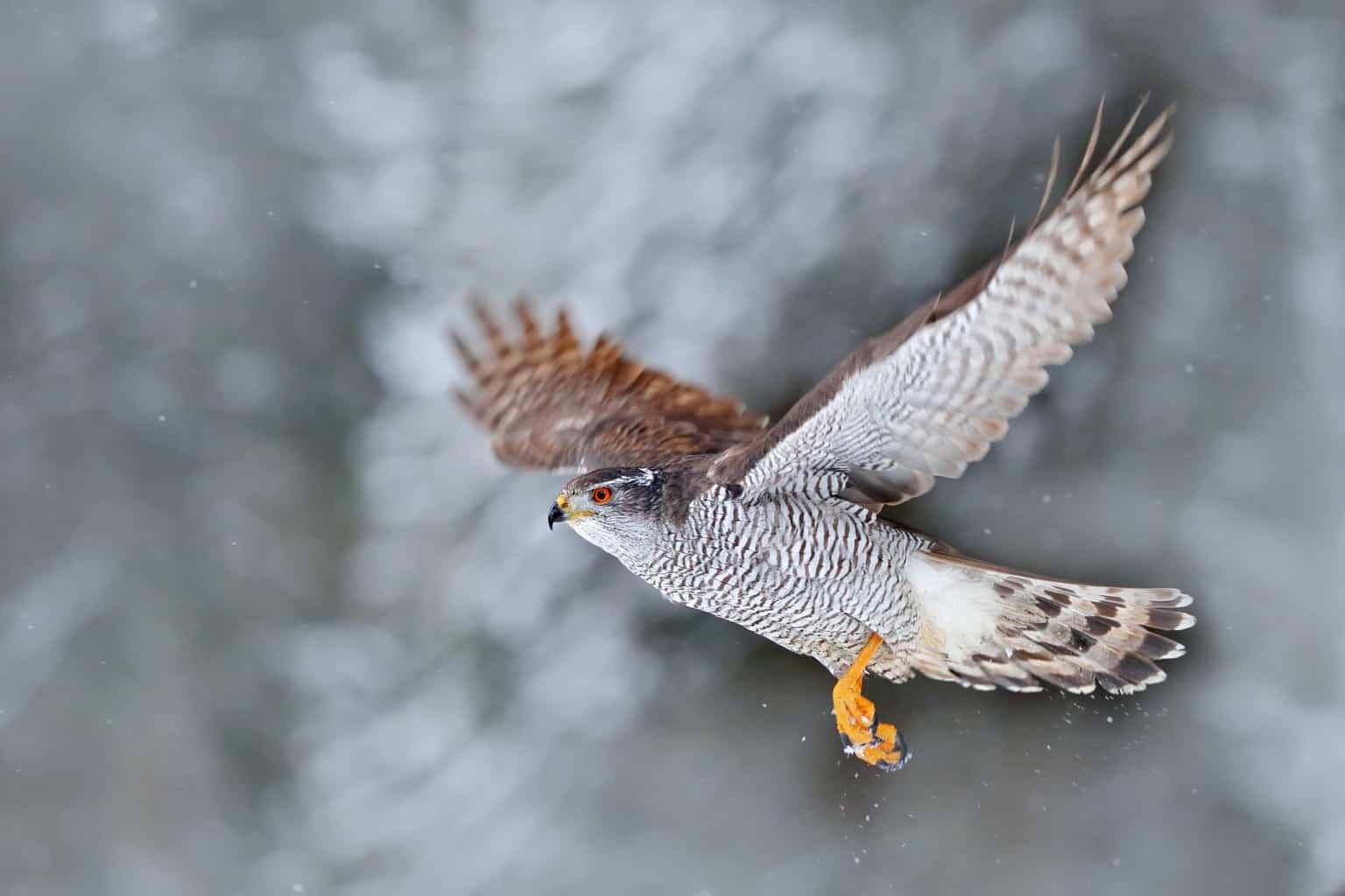 8 hawks in wyoming