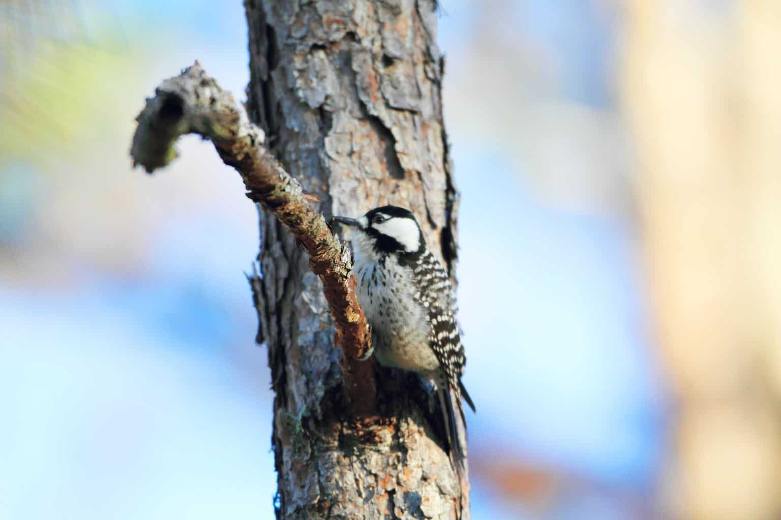 Red-Cockaded Woodpecker