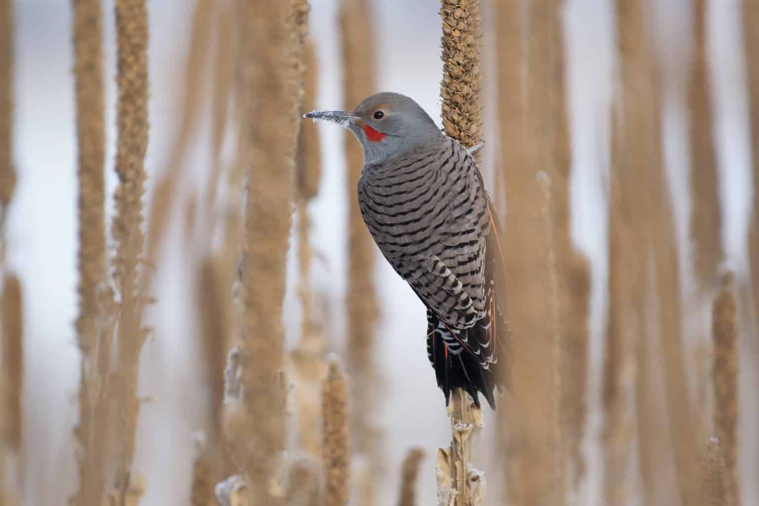 northern flicker perched on a mullen in winter in alabama