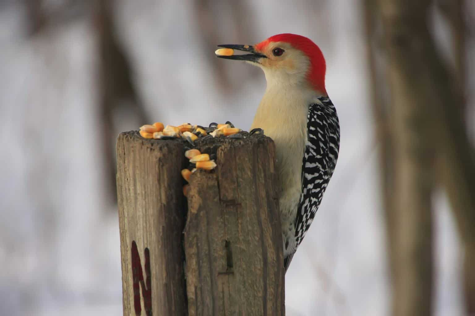 woodpecker perching on a tree while eating