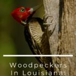 Woodpeckers In Louisiana