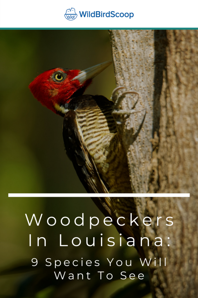 Woodpeckers In Louisiana