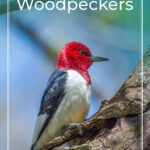 Michigan Woodpeckers