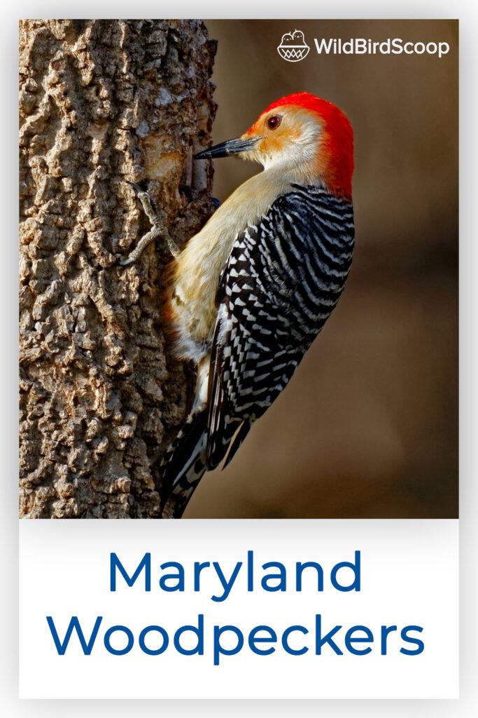 Maryland Woodpeckers