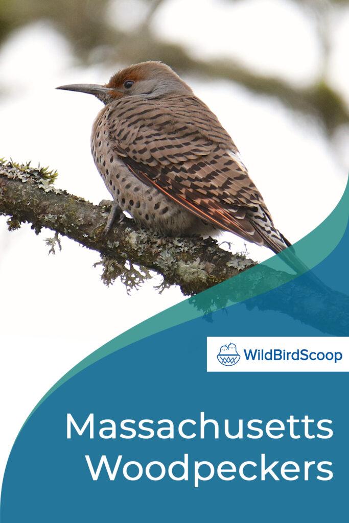 Massachusetts Woodpeckers