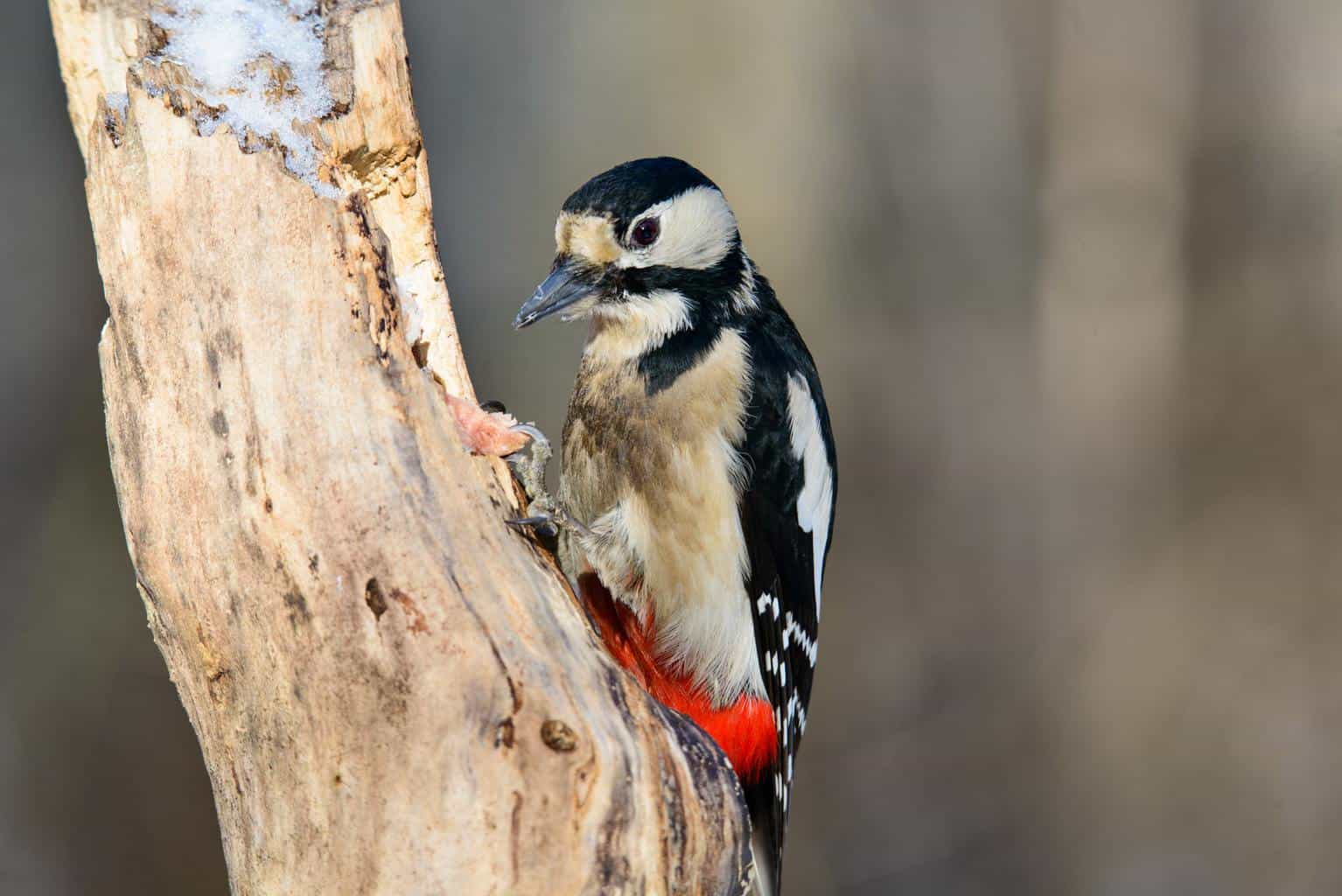 Woodpeckers In New Hampshire