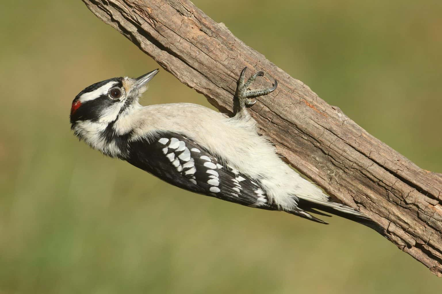 Woodpeckers In New Mexico