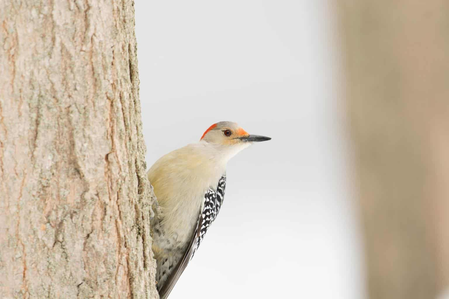 Woodpeckers in Massachusetts