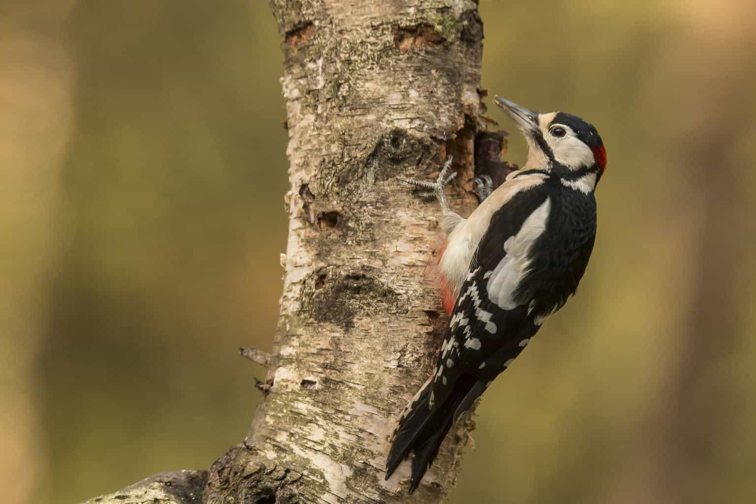 Woodpeckers in Minnesota