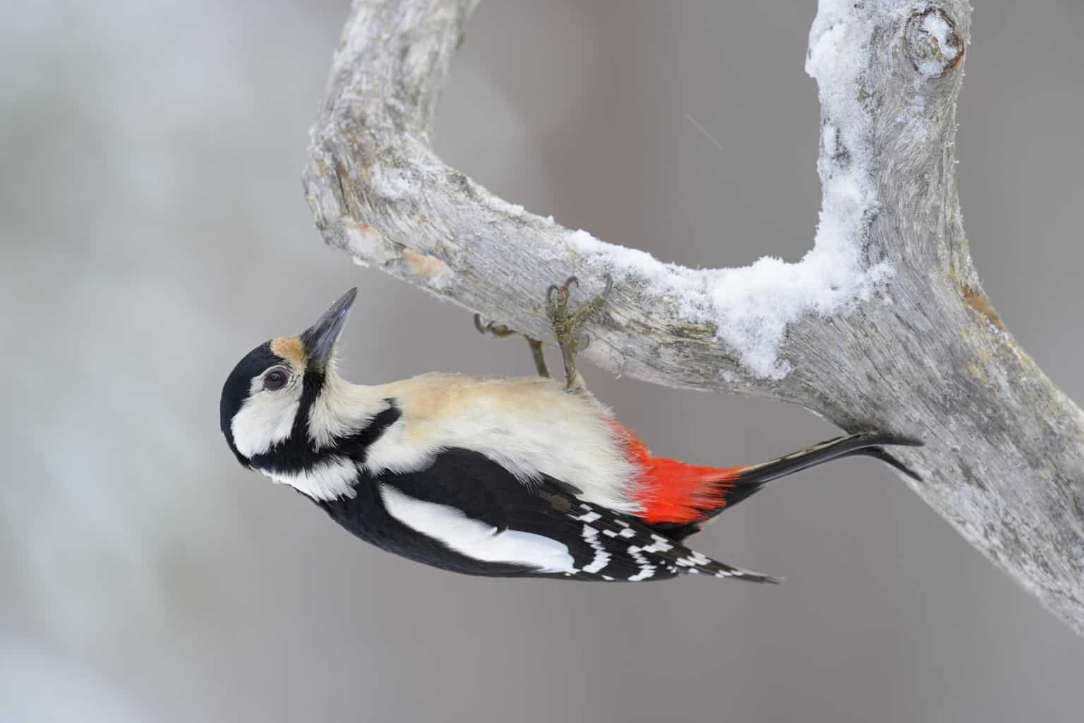 Woodpeckers in Mississippi