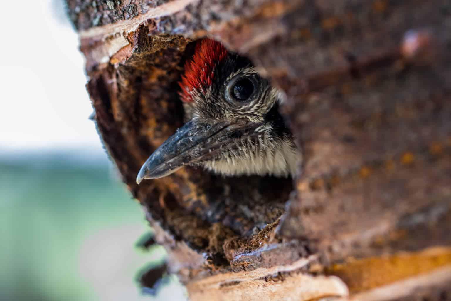 Woodpeckers in Kansas