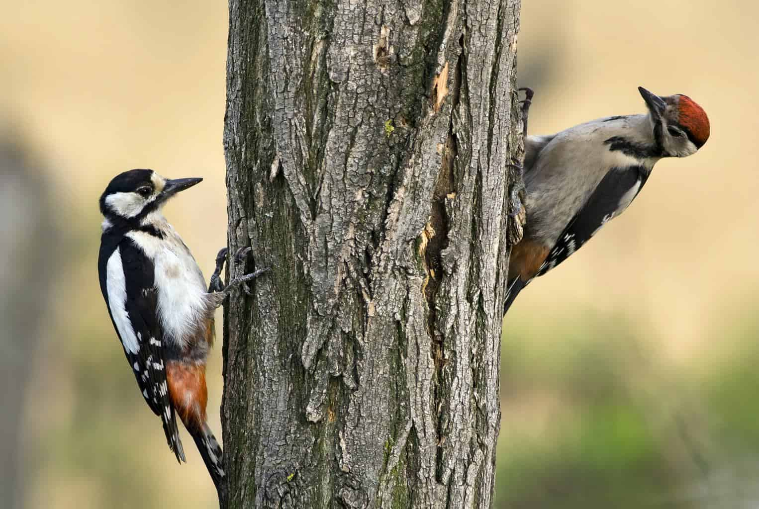 Woodpeckers in Maine