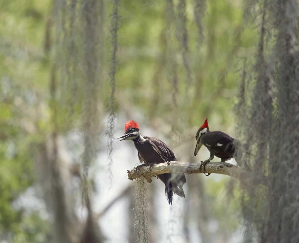 Woodpeckers In North Carolina
