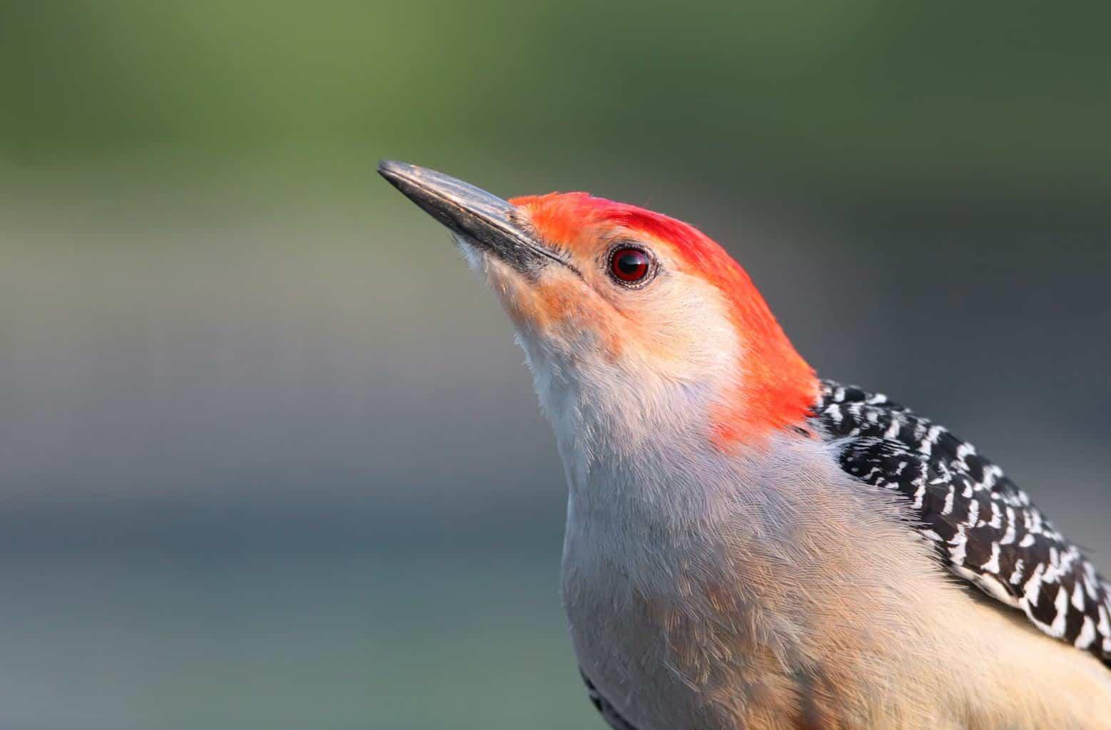 Woodpeckers In Ohio