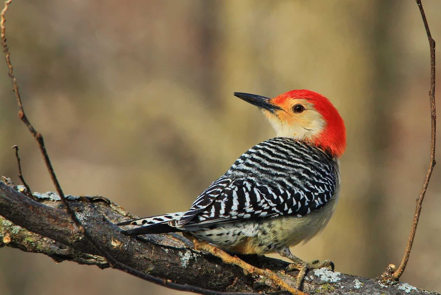 Woodpeckers In Oklahoma