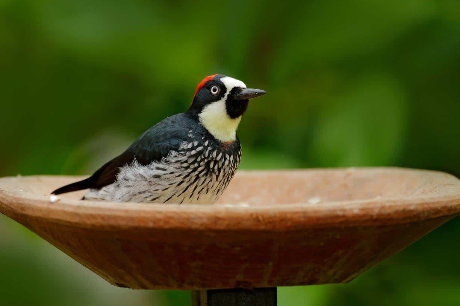 Woodpeckers In Oregon