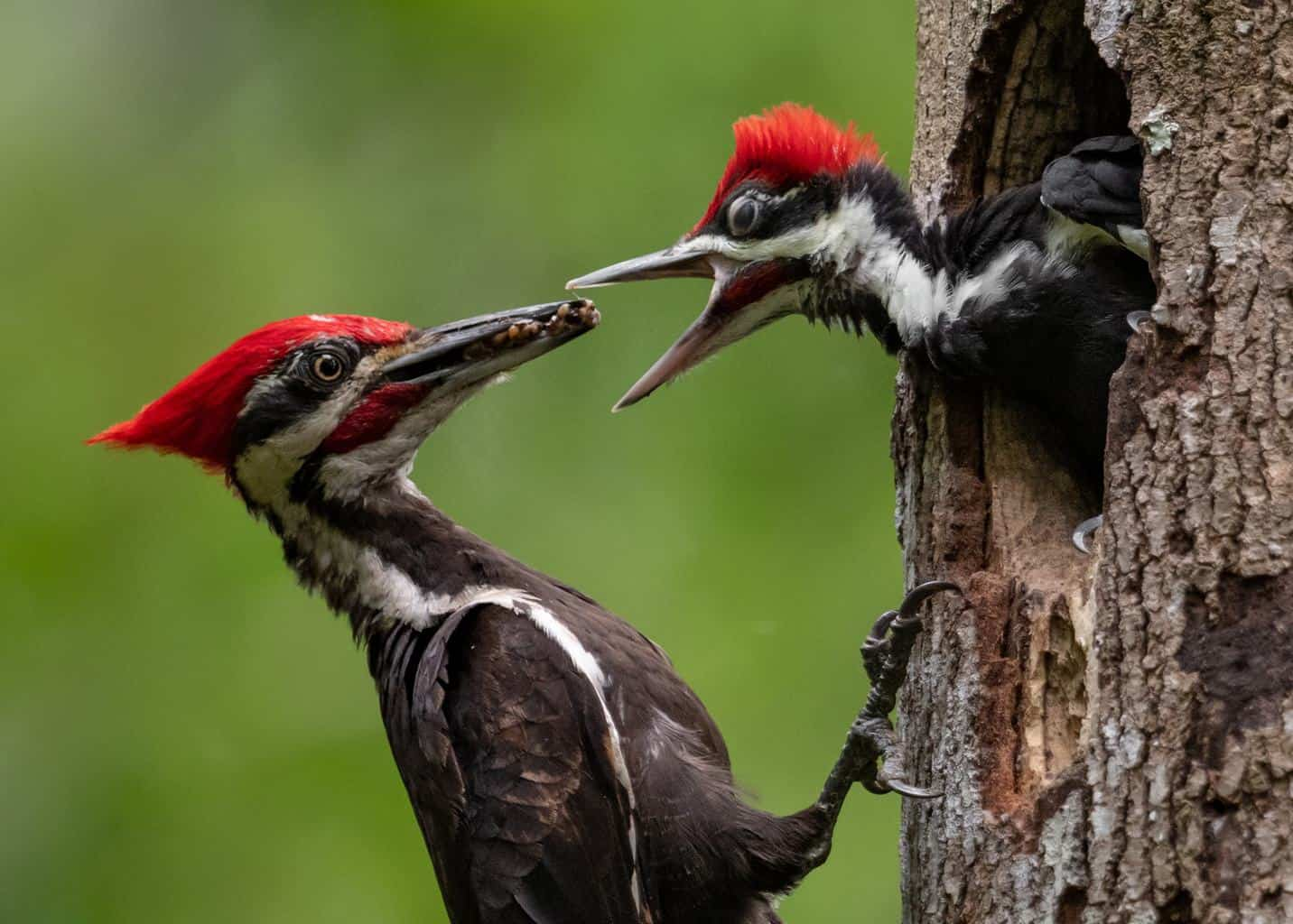 Woodpeckers In Rhode Island