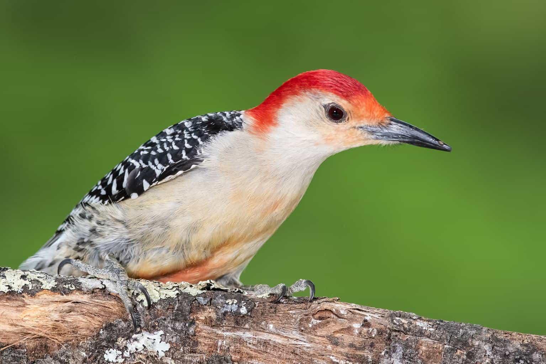 Woodpeckers In South Carolina