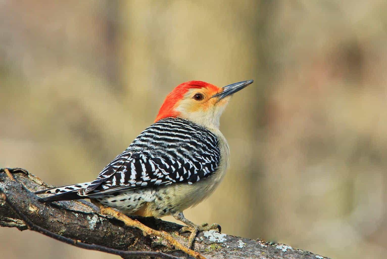 Woodpeckers In South Dakota