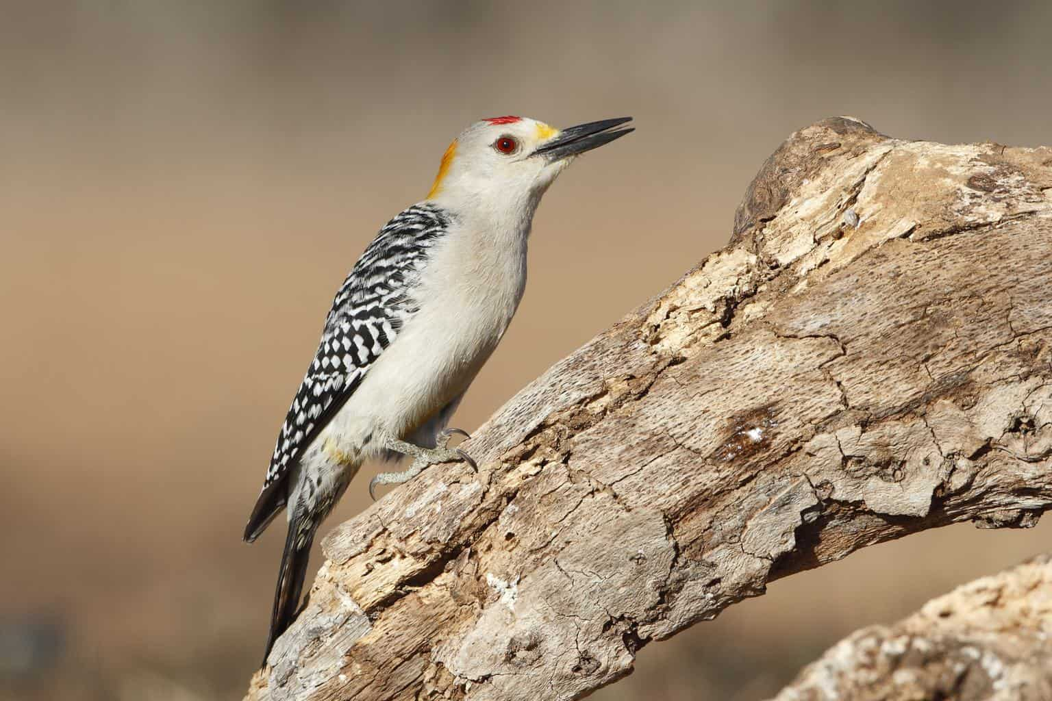 Woodpeckers In Texas